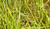 Frog found in the new wetland