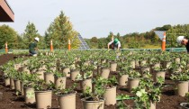 Planting on the Green Roof
