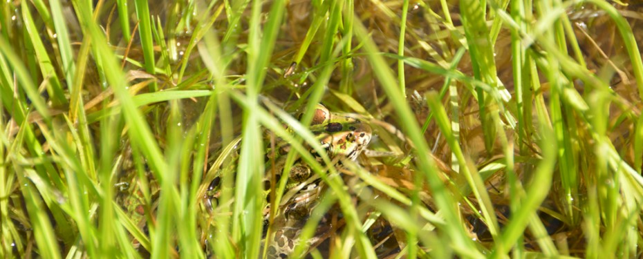 Frog in the new wetland