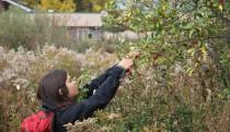 Tagging common milkweed